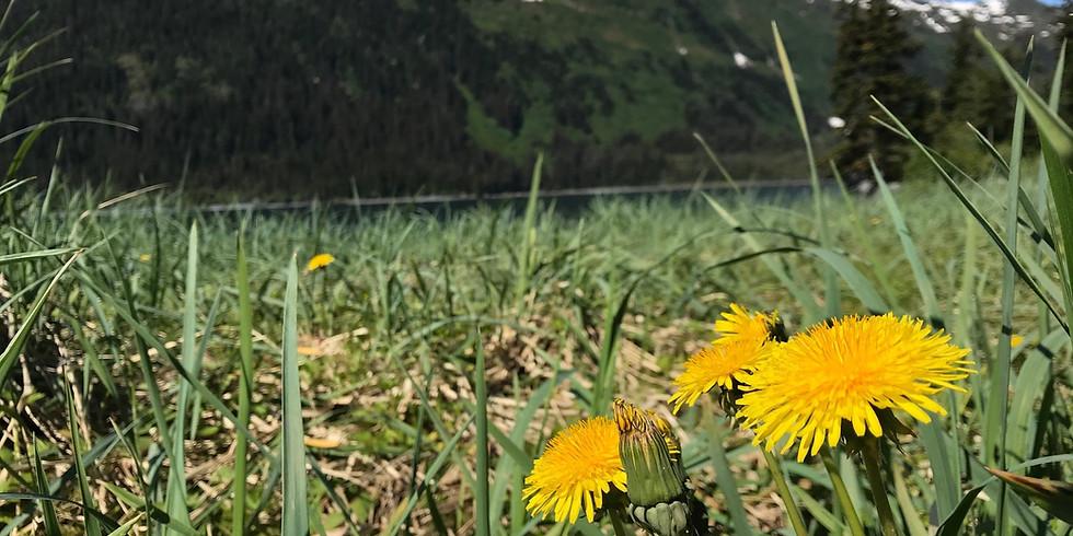 Invasive Dandelion Removal at Hobo Bay