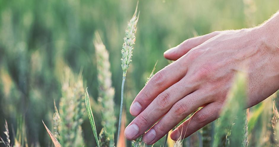 Hand touching rye