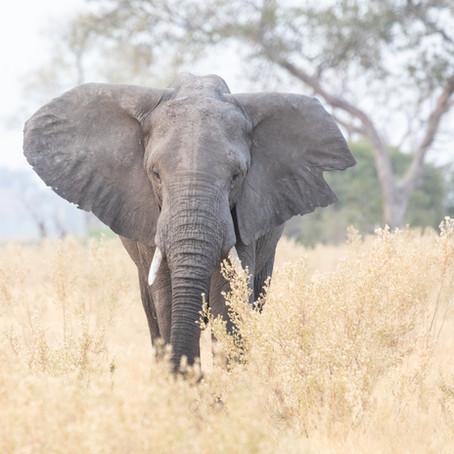 The Elephant Enigma