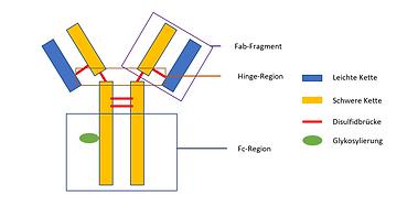Aufbau eines IgG Antikörper mit Fc-Region und Fab-Fragment