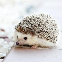 hedgehog-468228_1920.jpg