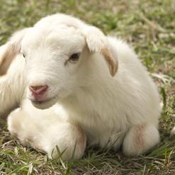 lamb-2216160_1920.jpg