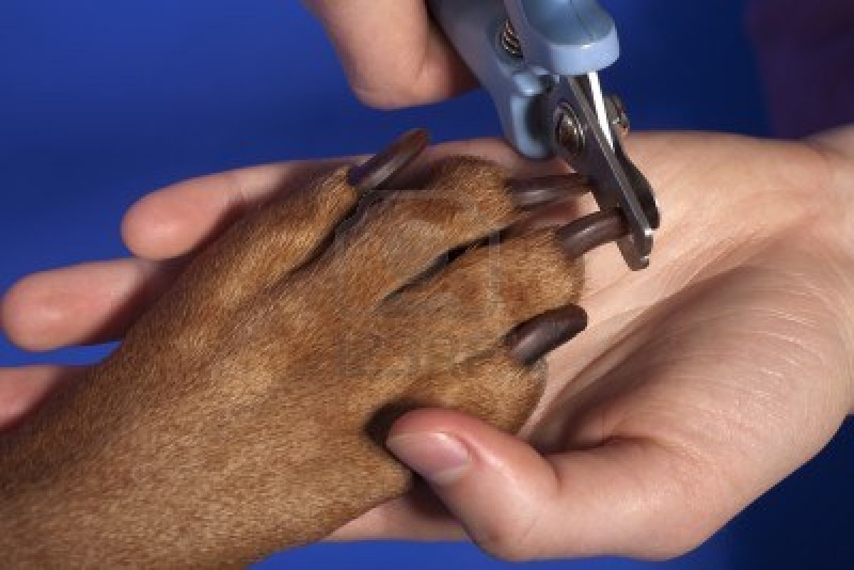 12430684-close-up-of-cutting-dog-nail-with-specialty-tool-on-blue-background