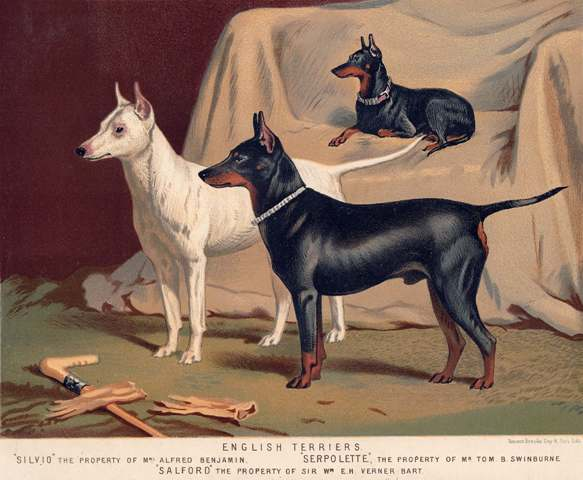 English Terriers
