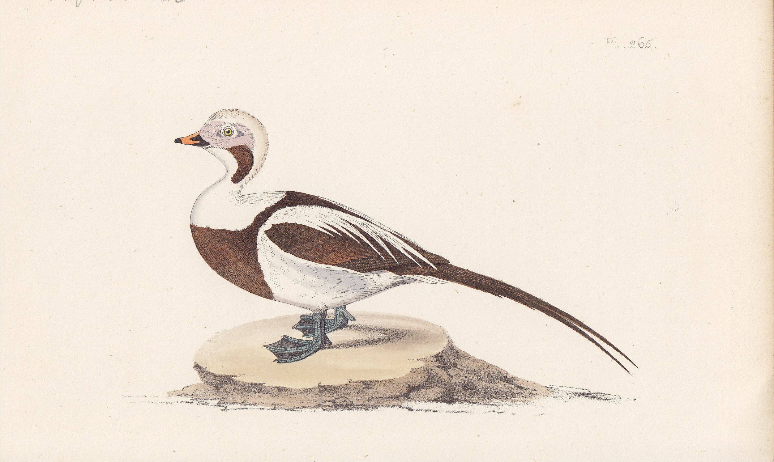 Mig tailed Duck