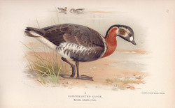 Rea-Breasted Goose