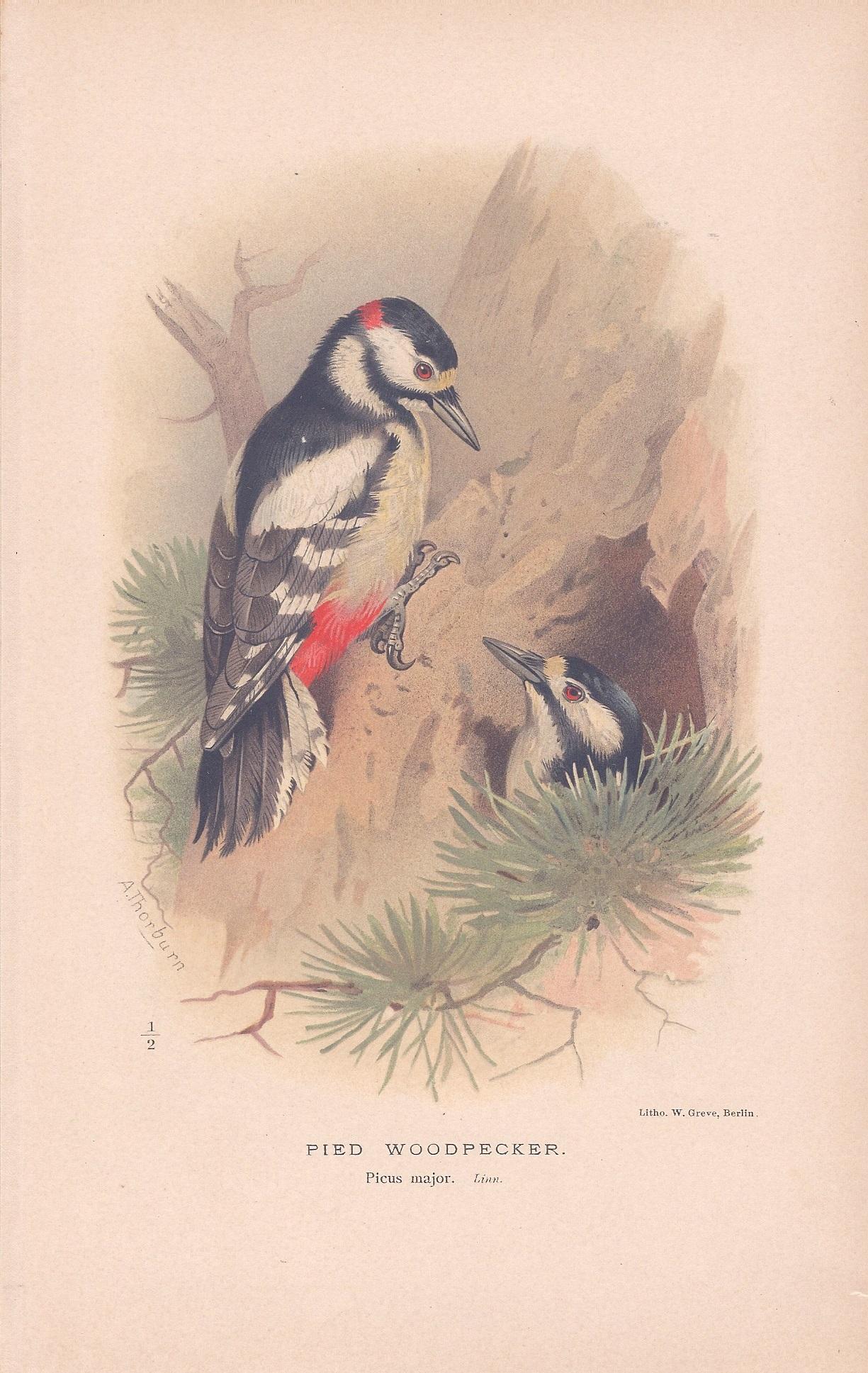 Pied Woodpecker