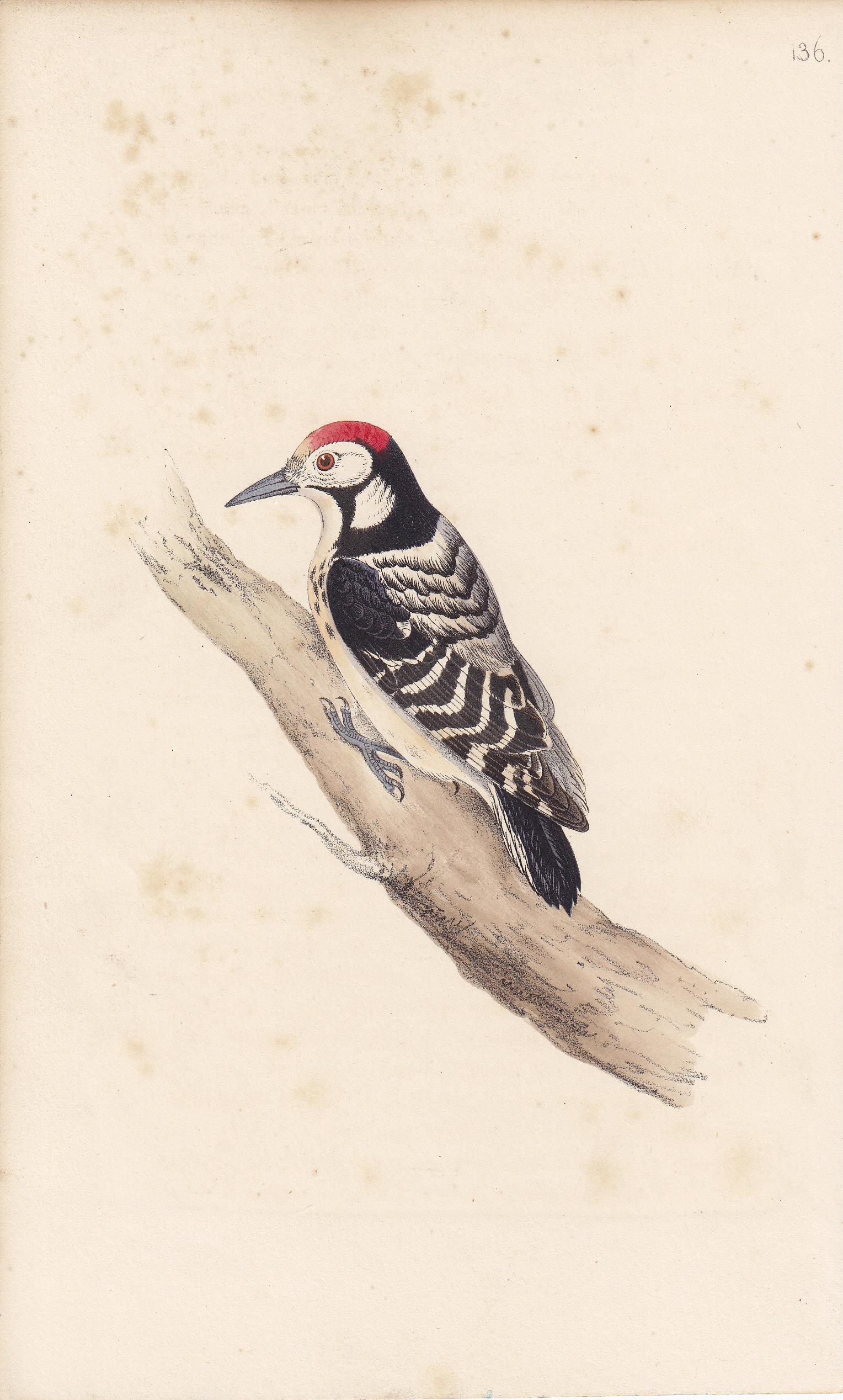 Barred Woodpecker