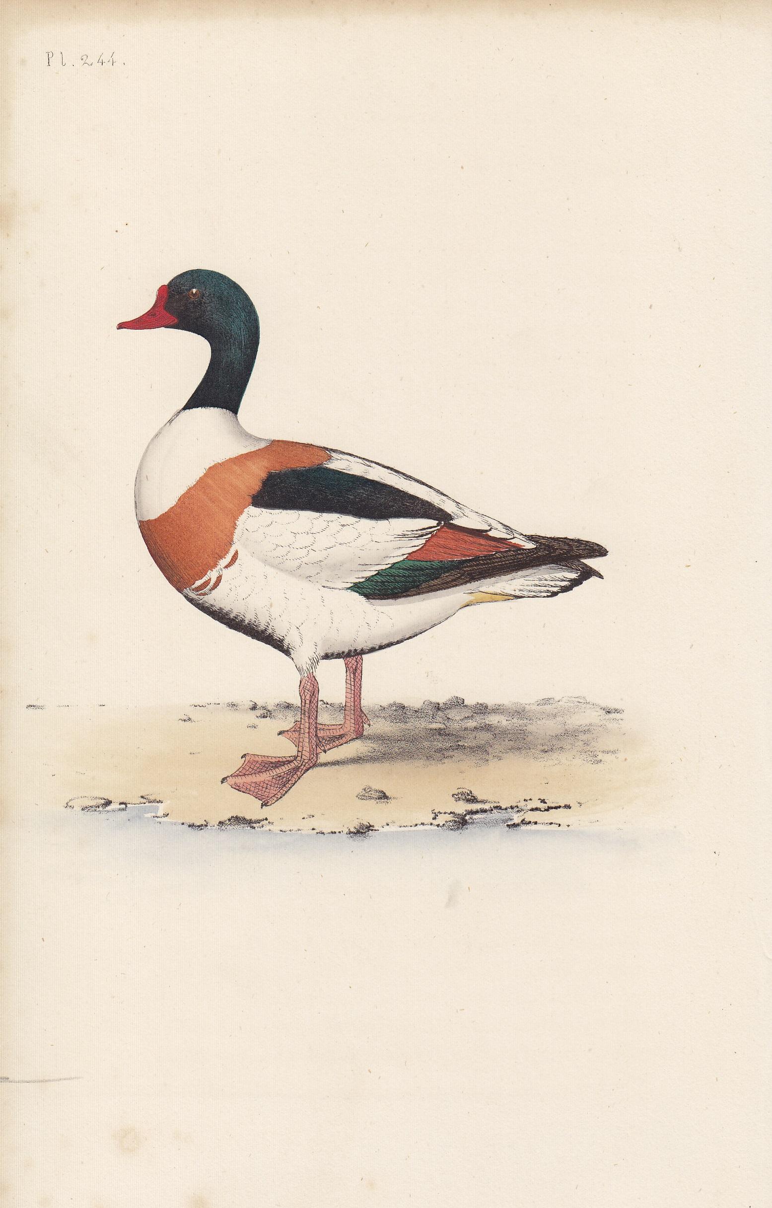 Sheldrake Duck