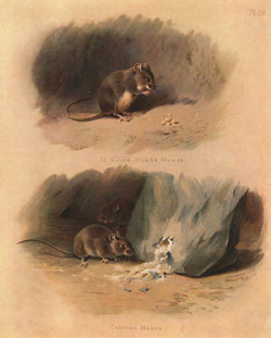 Common Mouse