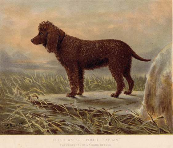 Irish Water Spaniel
