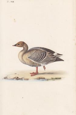 Pink-Legged Goose