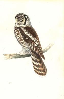 Canada Owl