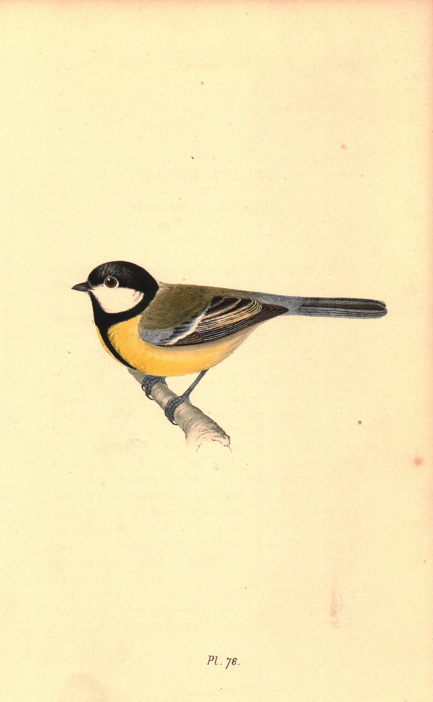 Greater Titmouse
