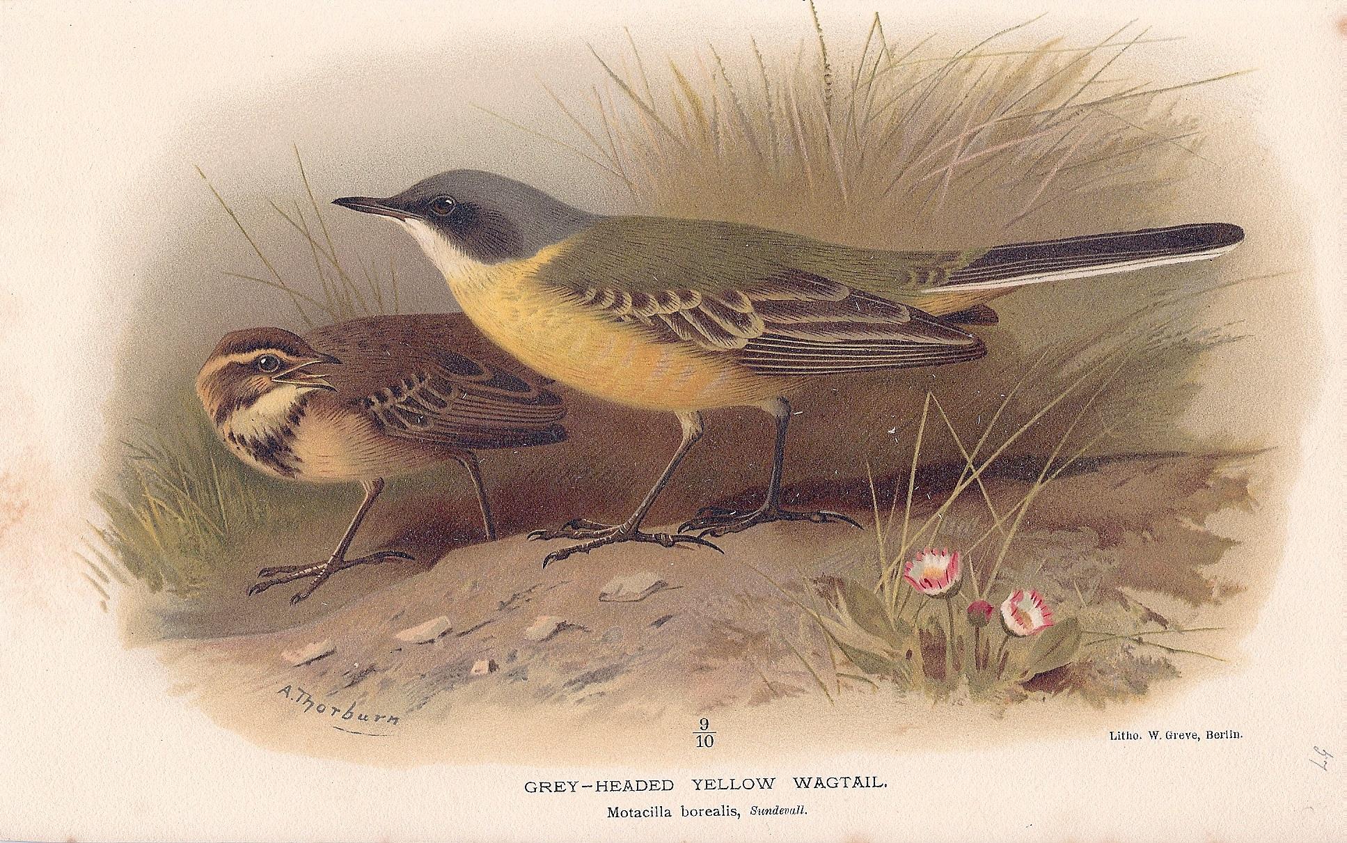 Grey-Headed Yellow Wagtail