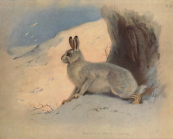 Mountial Hare-Winter