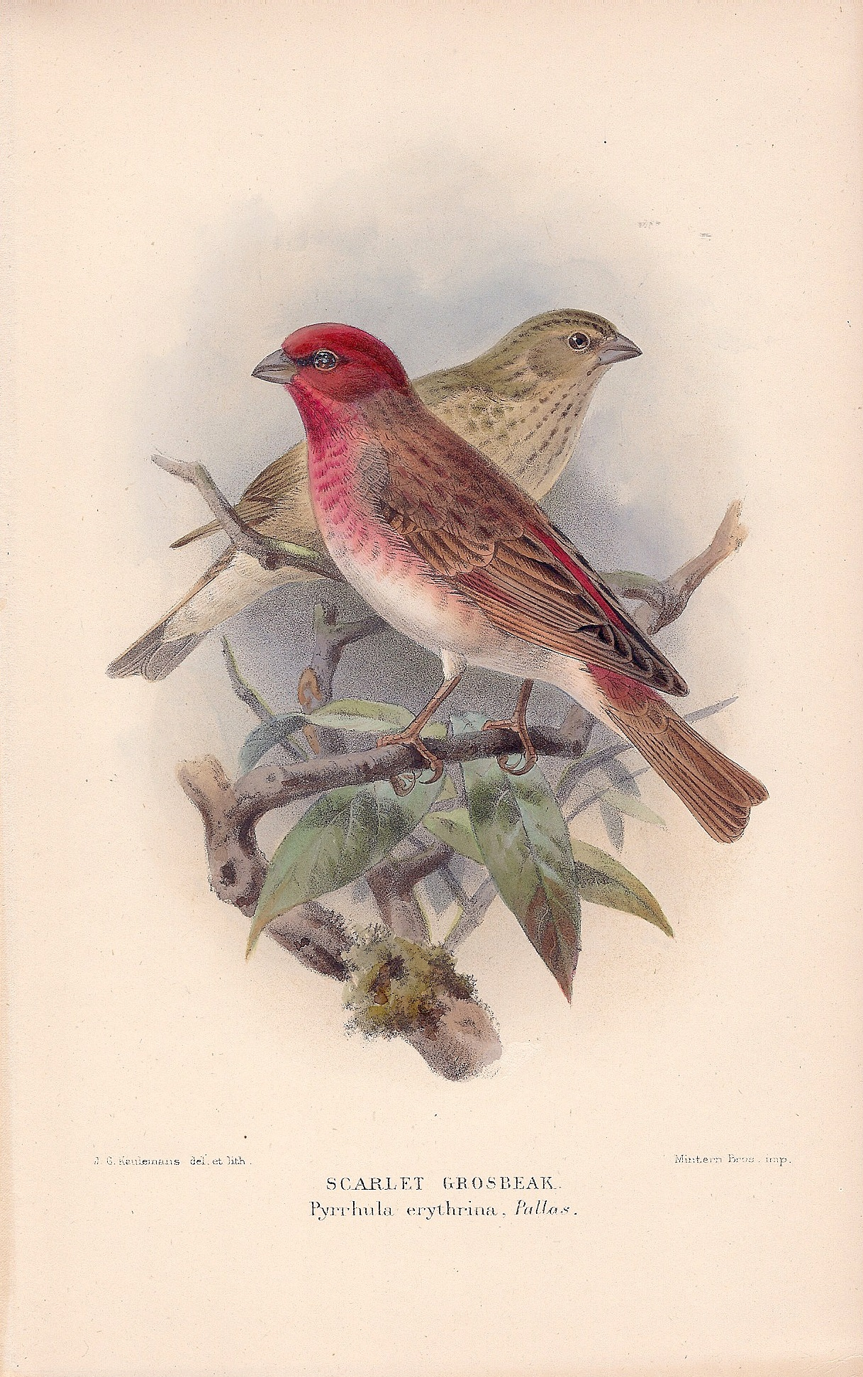 Scarlet Grosbeak