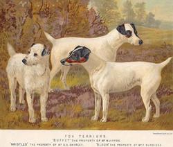 Fox Terriers