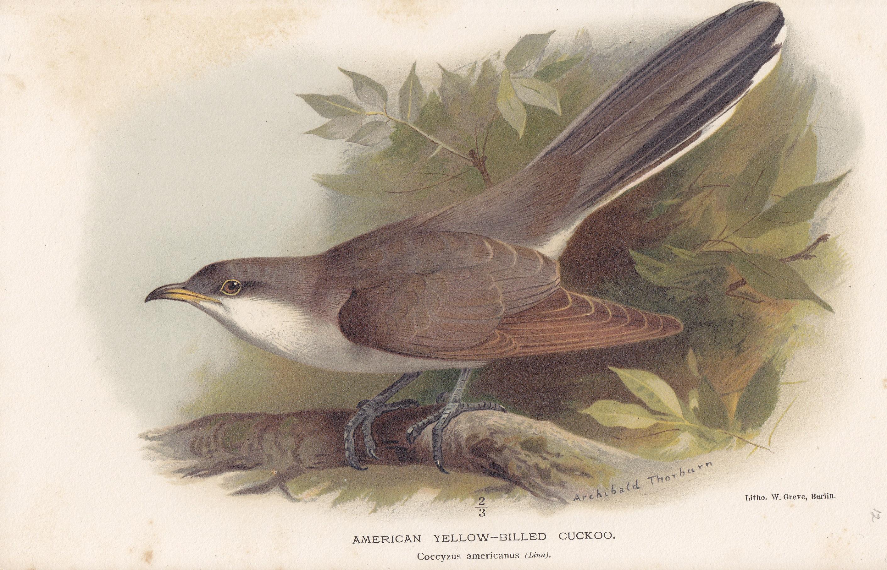 American Yellow-Billed Cuckoo