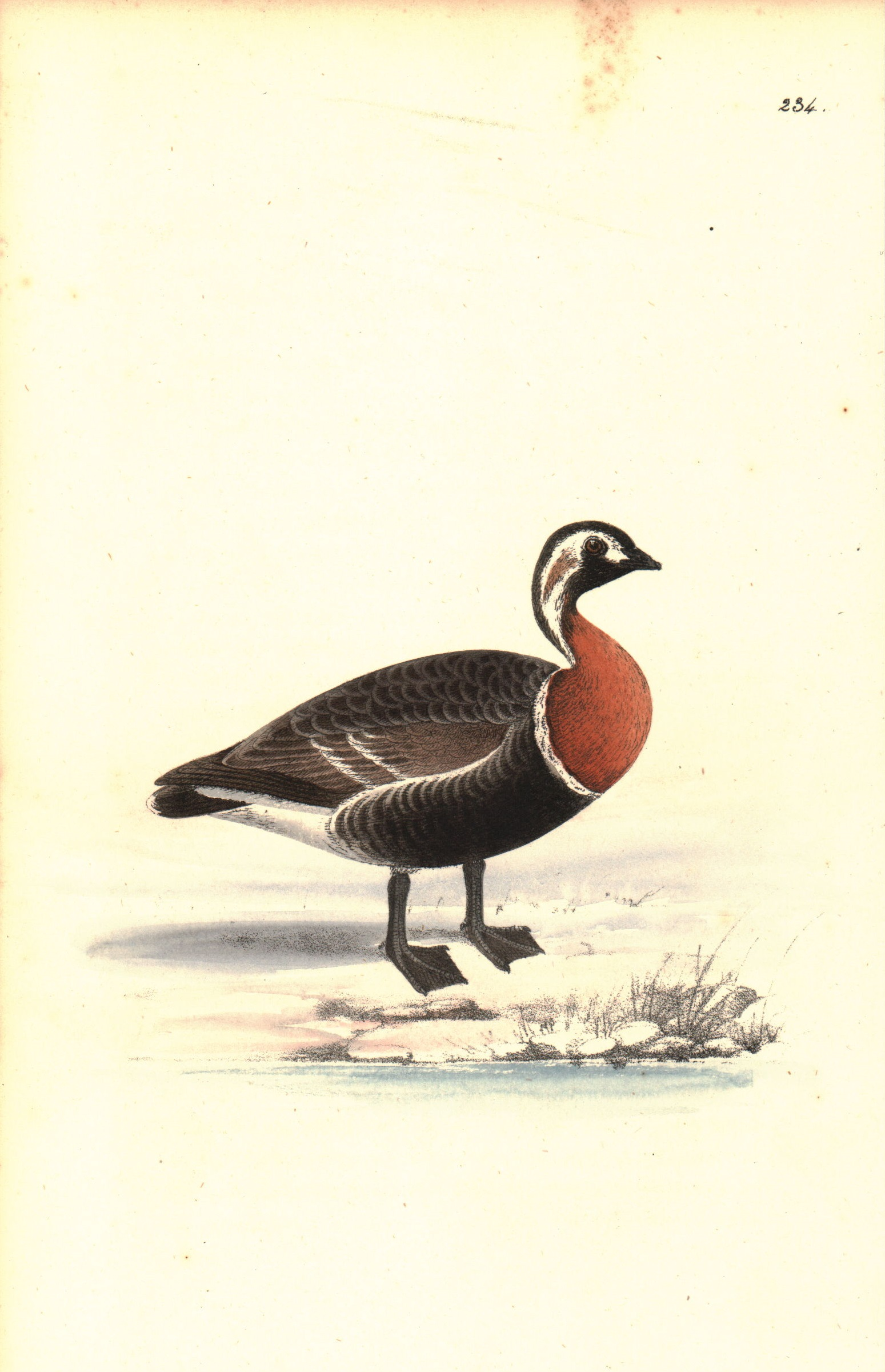 Red Breasted Goose