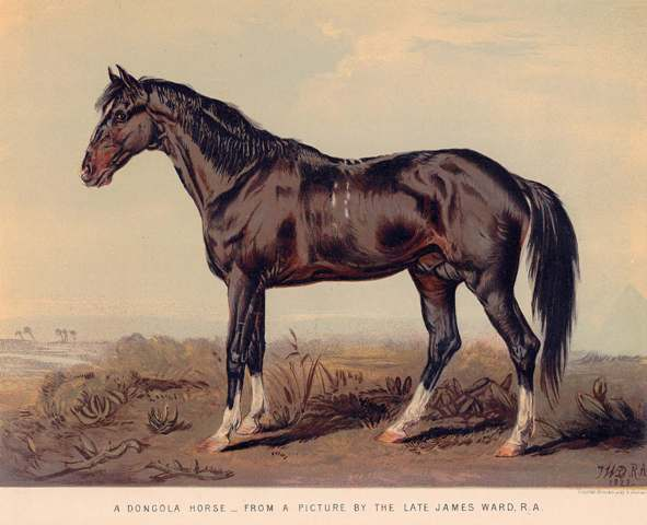 A Dongola Horse