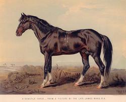 A Dongola Horse