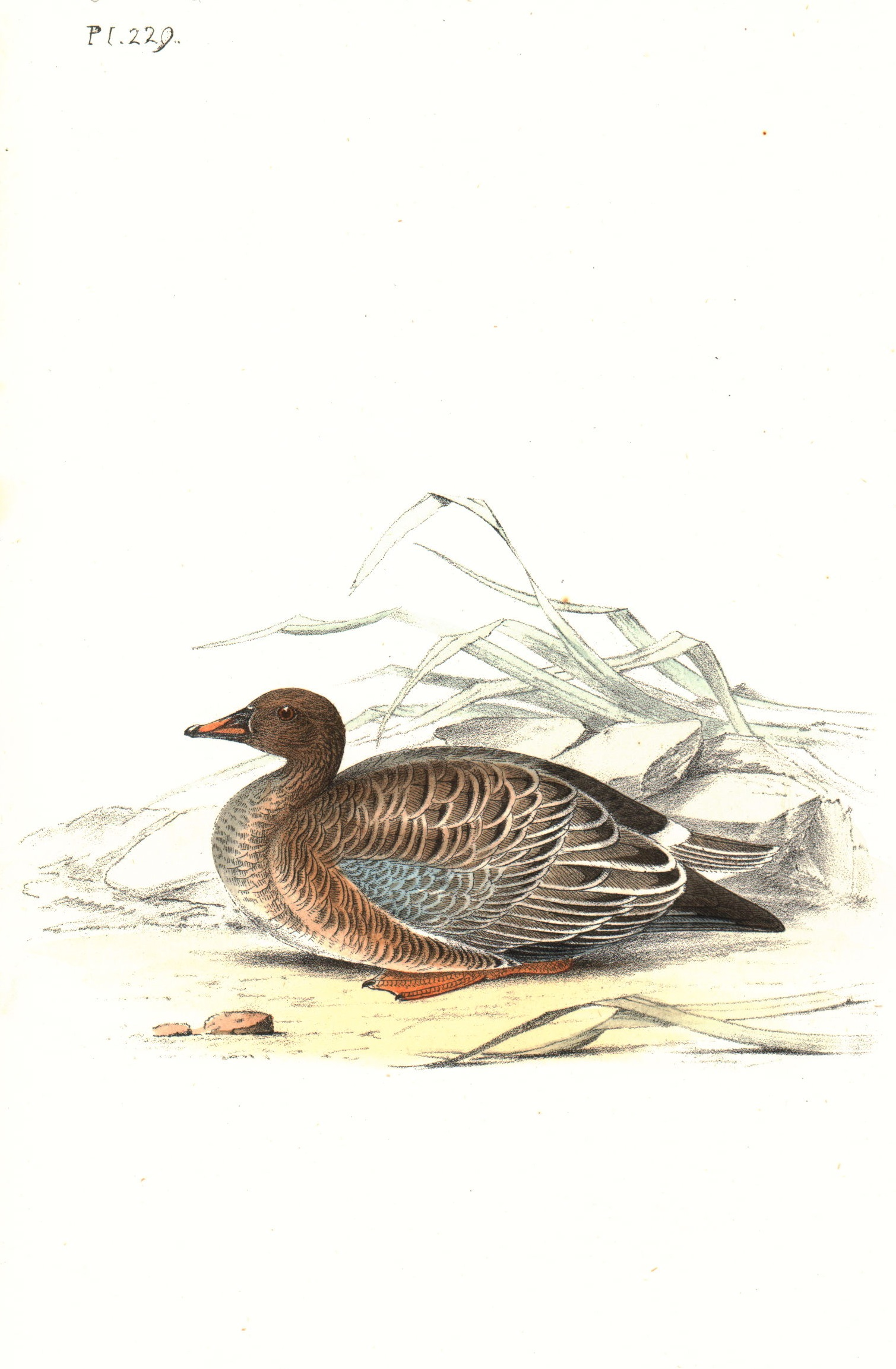 Orange Legged Bean Goose