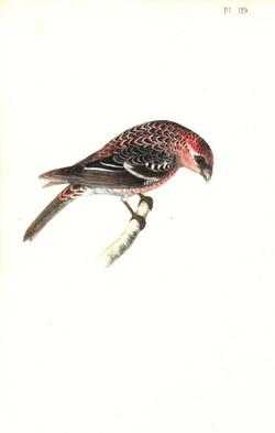 Pine Bull Finch