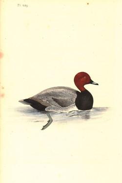 Red-crested pochard