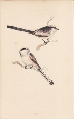 Long-Tailed Titmouse