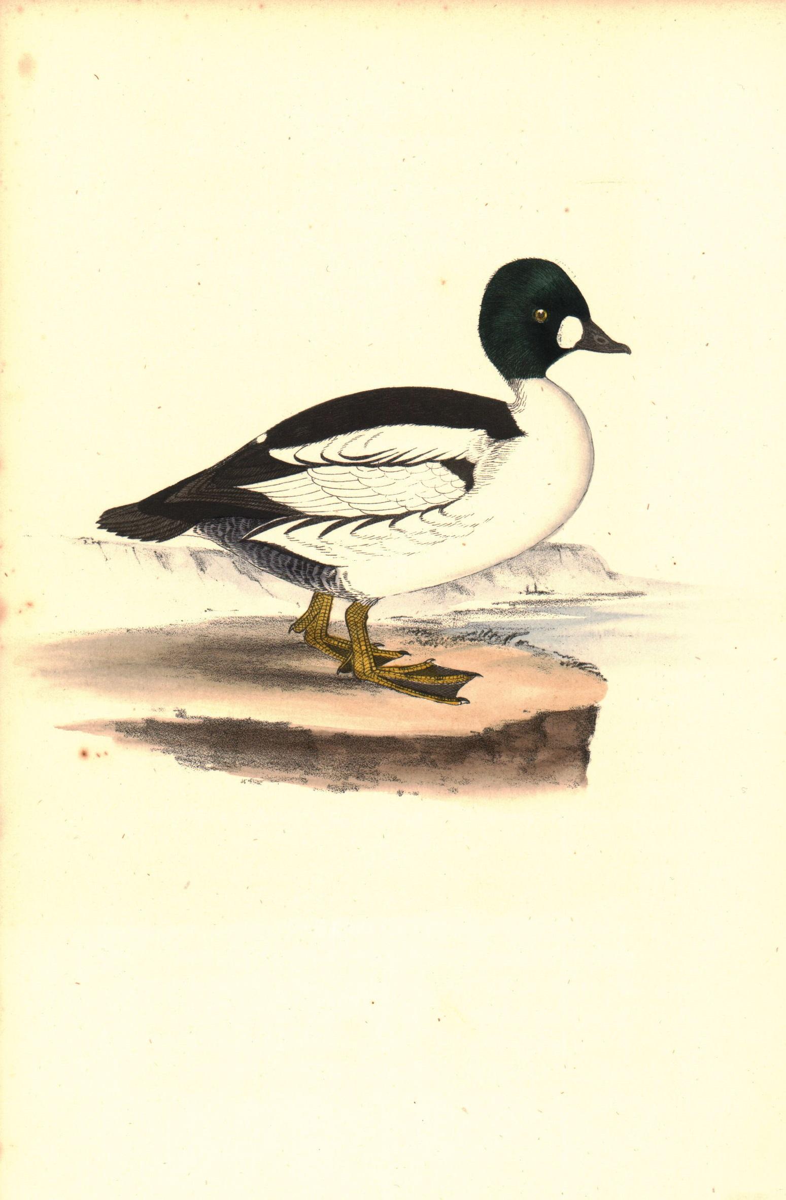 Golden Eye Duck