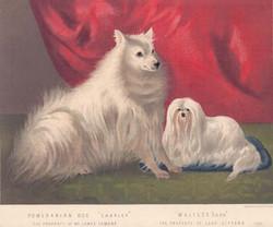 Pomeranian Maltese