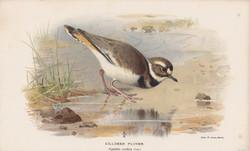 Killdeer Plover