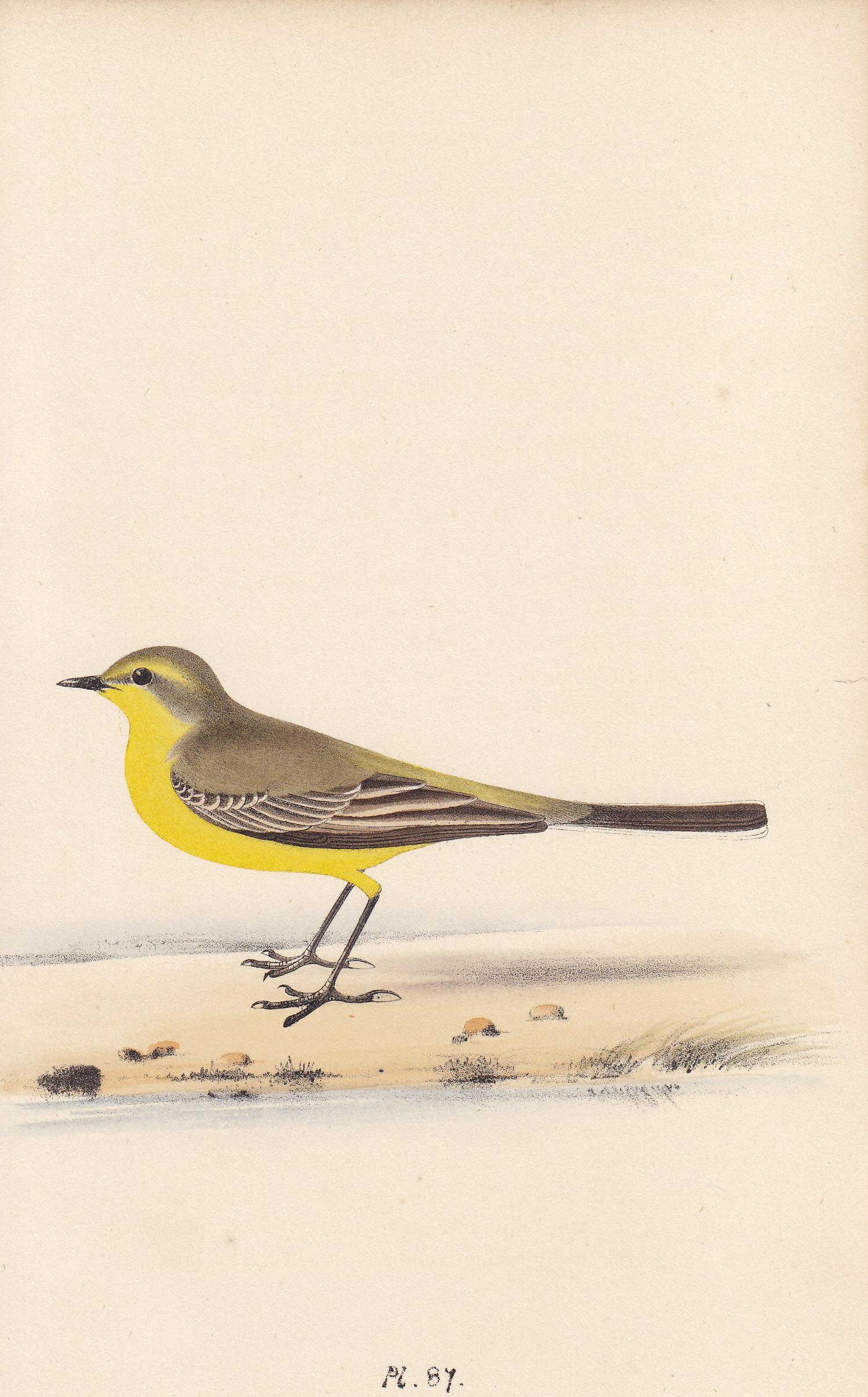 Ray's Yellow Wagtail