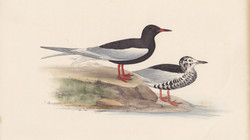 Silver-Winged Black Tern