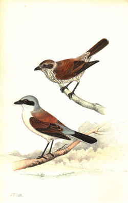 Red Backed Strike