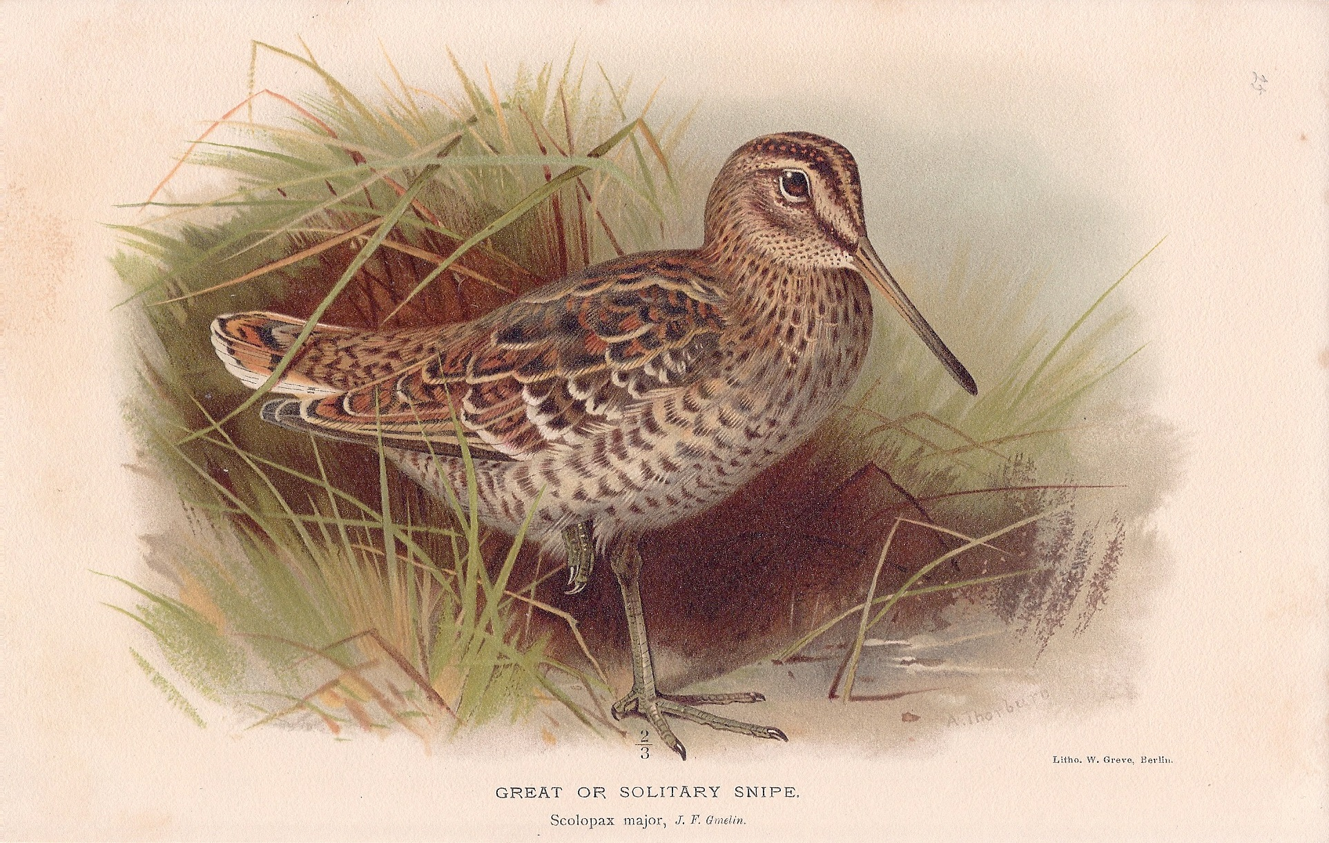 Great or Solitary Snipe