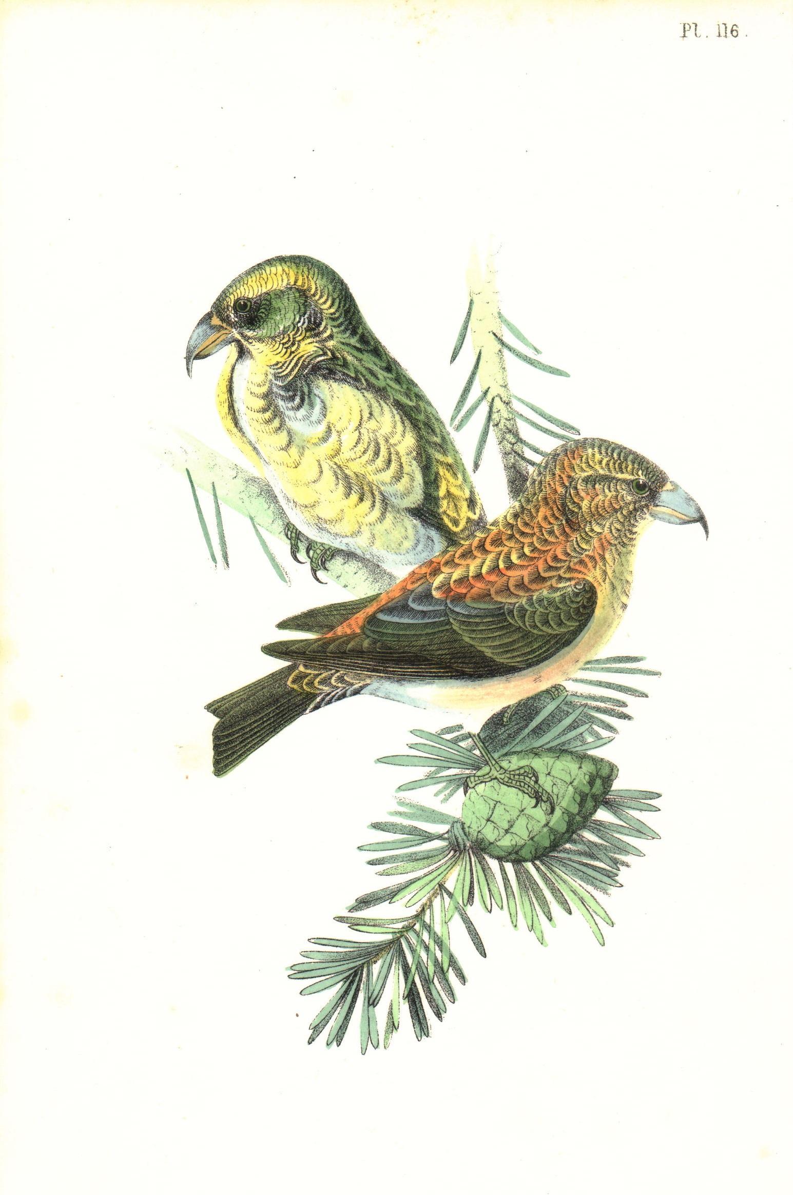 Common Crossbill