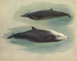 Cuvier's Whale