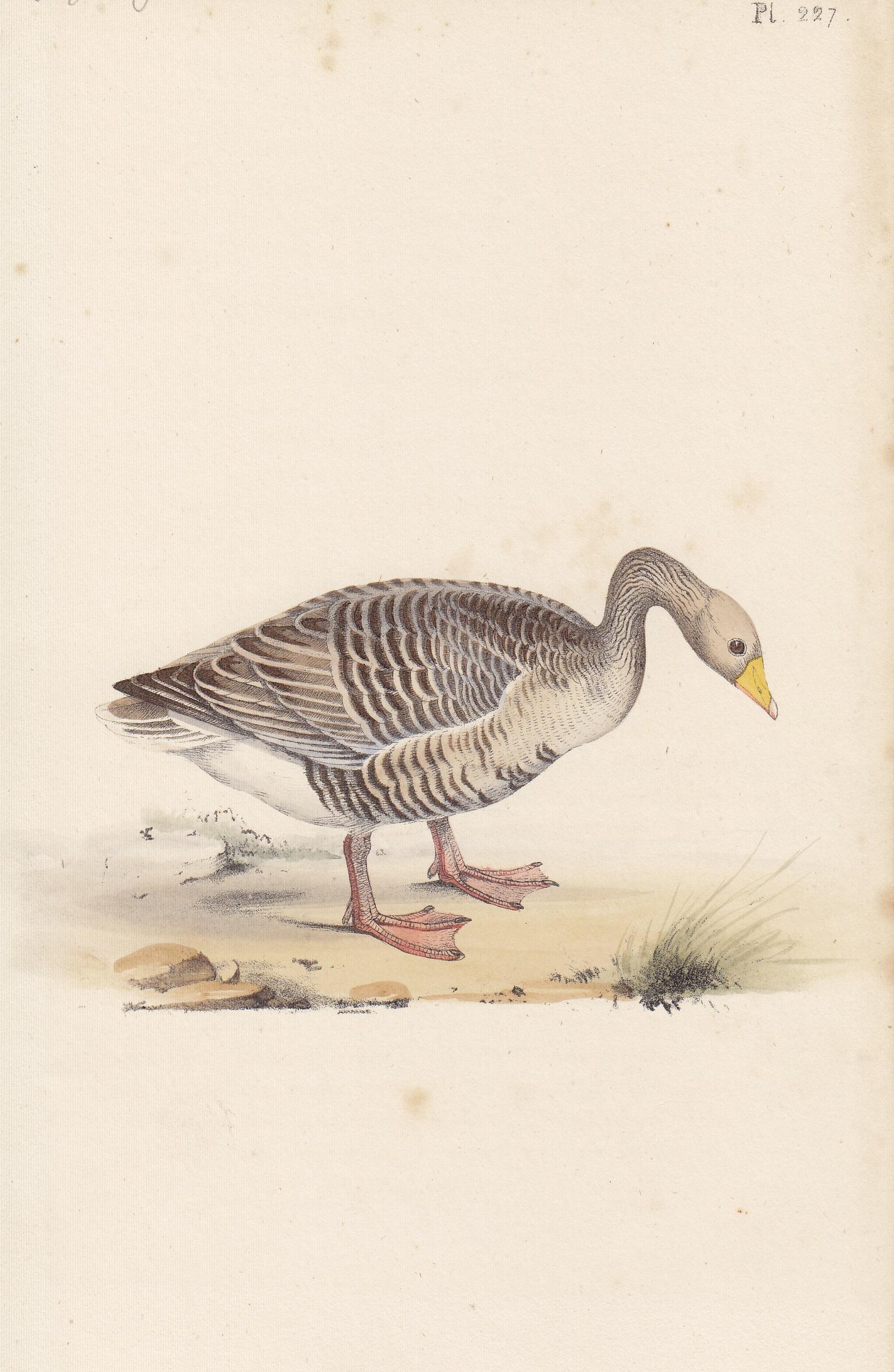 Grey-Legged Goose