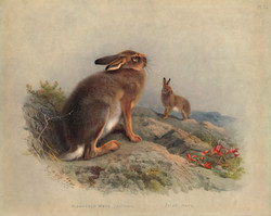 Mountial Hare
