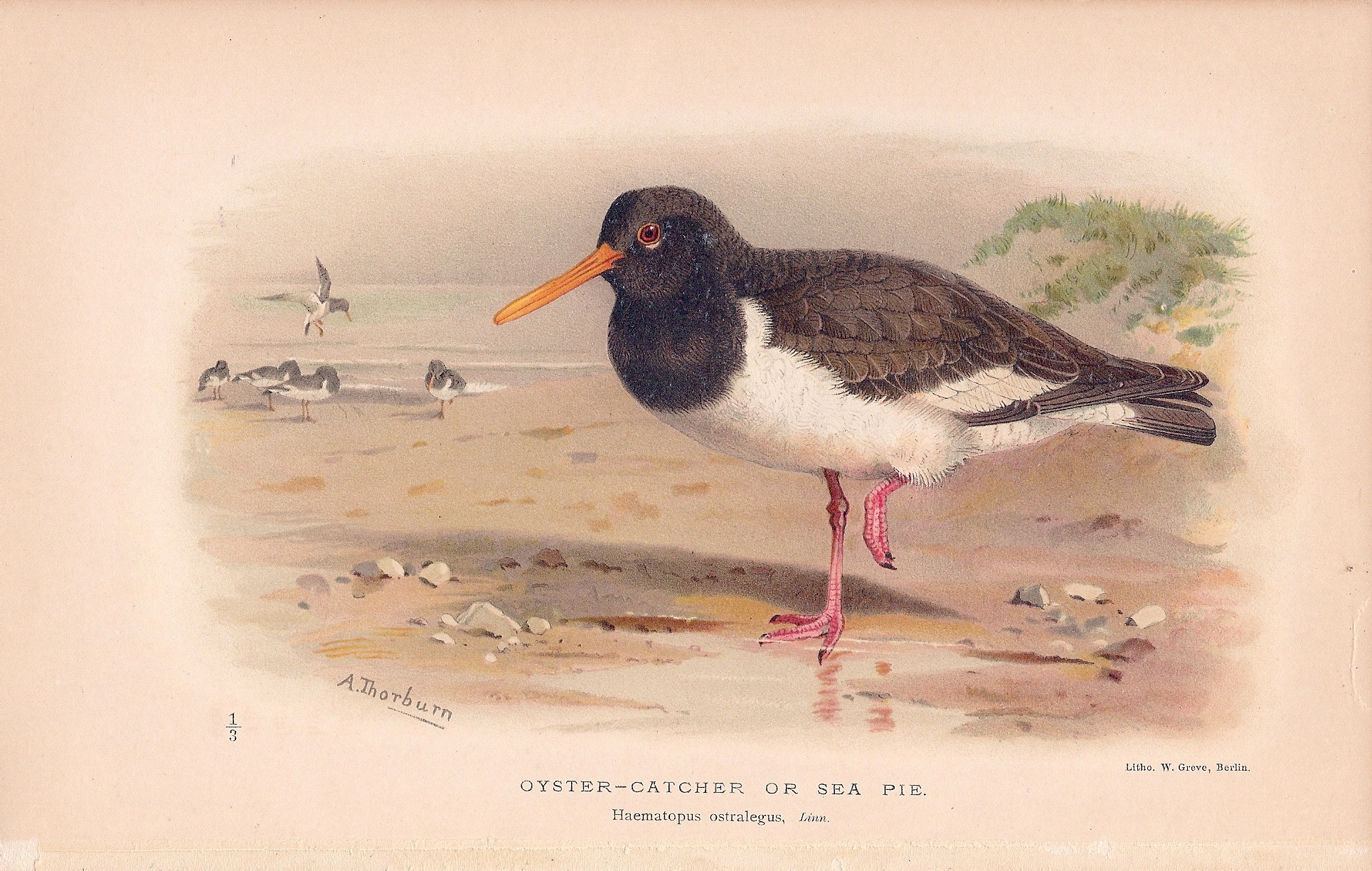 Oyster-Catcher or Sea Pie