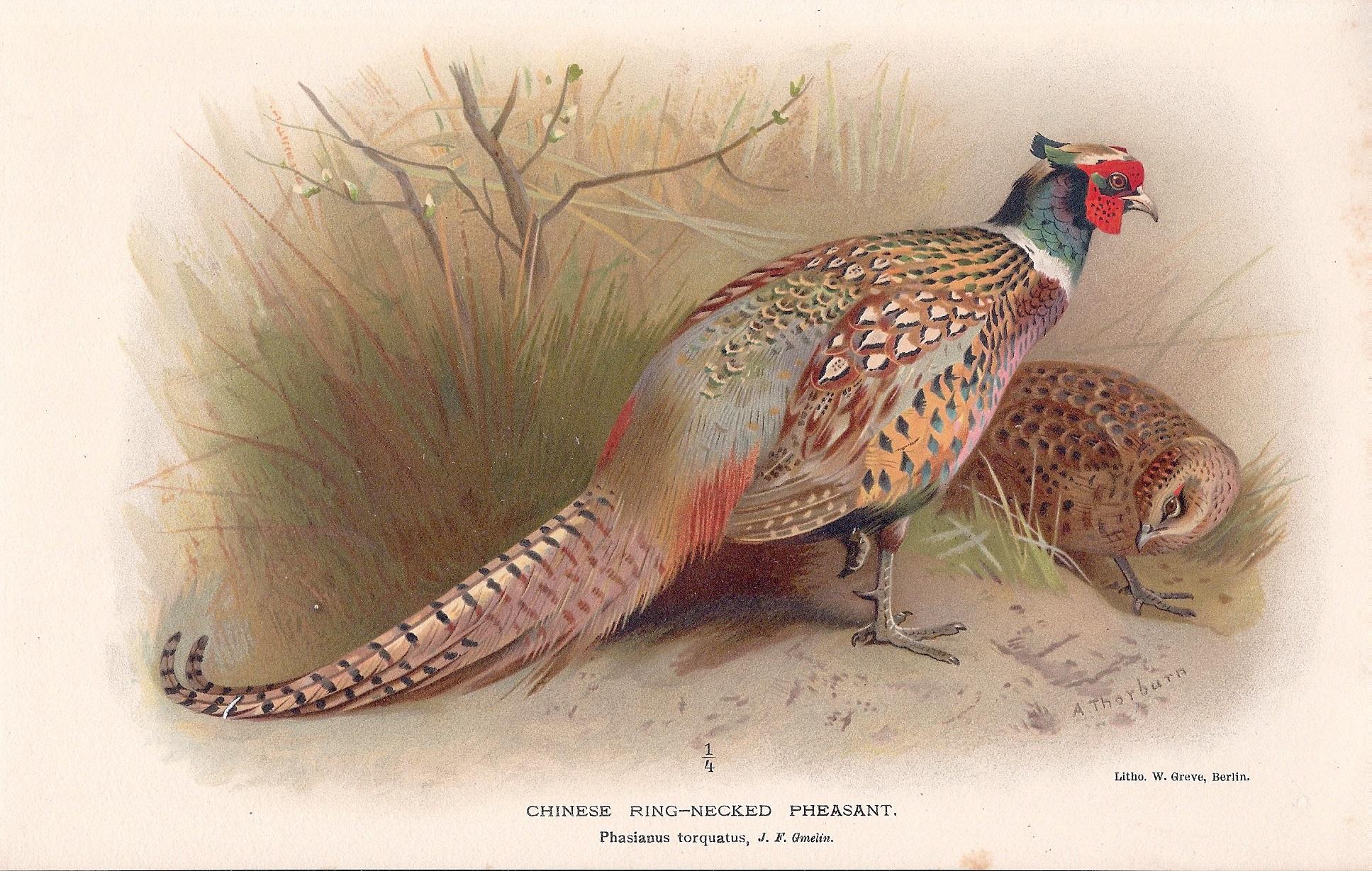 Chinese Ring-Necked Pheasant