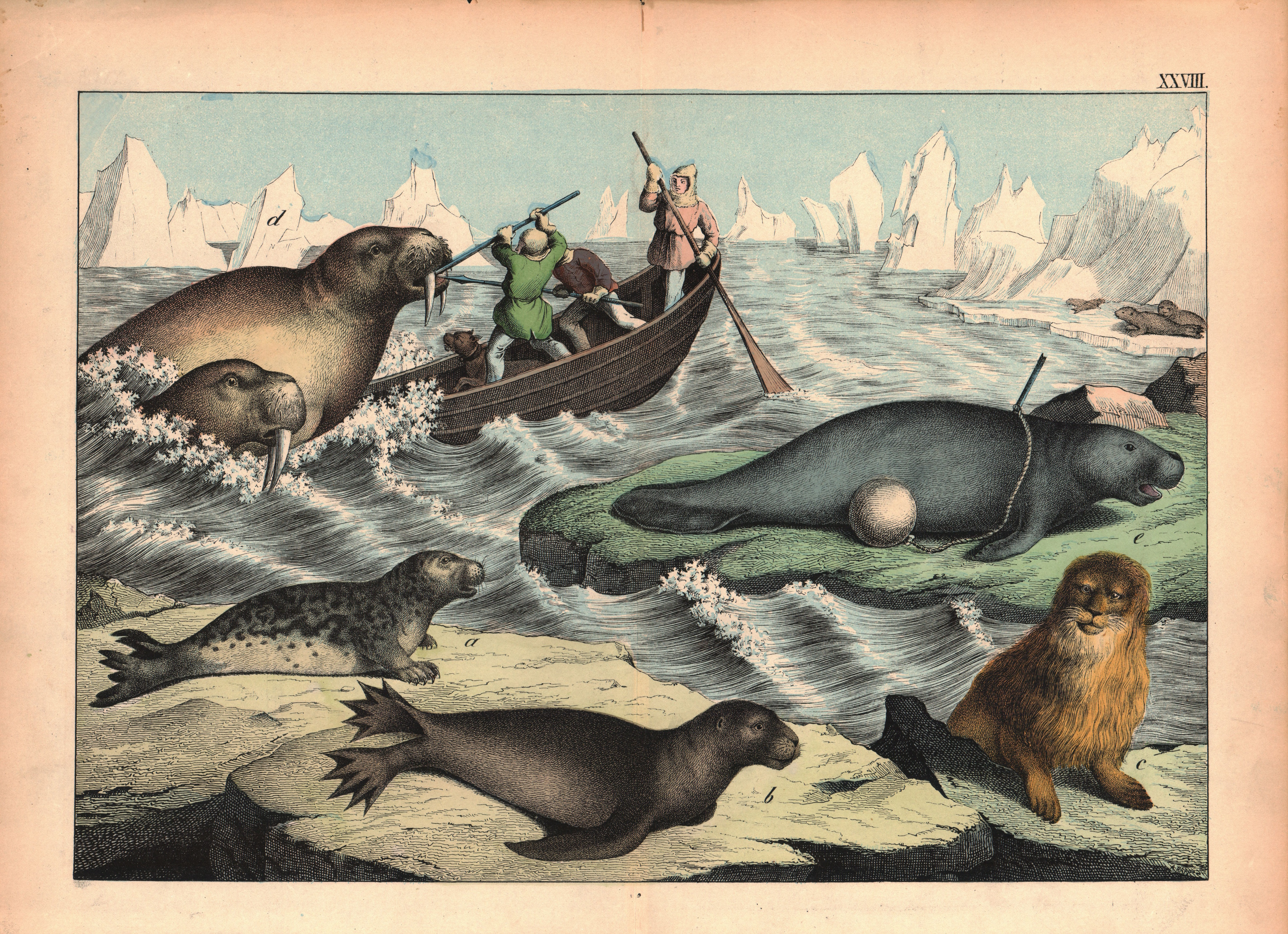 Seals, Walrus, Etc
