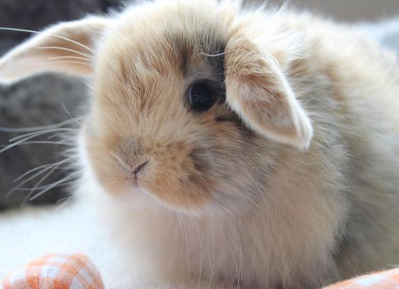 Baby Bunny Deposit Litter #1