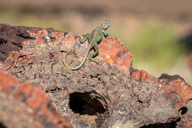 Eastern collared lizard, Petrified Forest