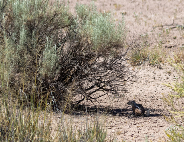 Harris antelope squirrel, Petrified Forest