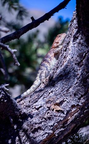 Lizard, road to South Rim