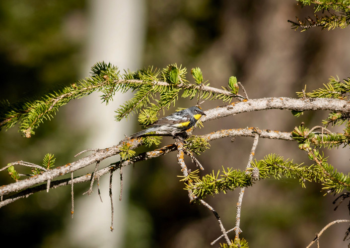 Yellow-rumped warbler, near North Rim entrance