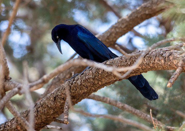 Long-tailed Grackle